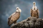 Stage vautour